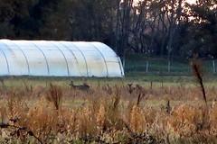 ..... 100m de ma maison....des chevreuils... (LILI 296 ...) Tags: france champs toulouse chevreuil herbe serre hautegaronne midipyrnes