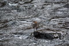 White-throated Dipper (kalakeli) Tags: birds december dezember vgel rur dren cincluscinclus whitethroateddipper 2013 wasseramsel mygearandme mygearandmepremium mygearandmebronze mygearandmesilver