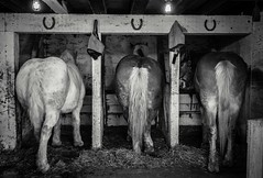 361: three shoes (Jen MacNeill) Tags: horses blackandwhite bw horse barn three pennsylvania butt rear pa lancaster belgian horseshoe horseshoes draft workhorse percheron landisvalley landisvalleymuseum jennifermacneilltraylor jmacneilltraylor jennifermacneill jennifermacneillphotography standingstalls