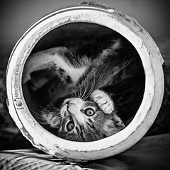 You Spin Me Round (alexgphoto) Tags: blackandwhite bw pets game cute animals composition cat canon circle eyes kitten feline funny dof play sweet tail joy humor adorable kitty 100mm pot squareformat round vase laughter paws moment playful timing primelens