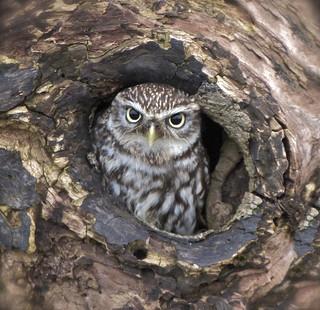 Little owl     ( Explored )