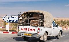 Nissan pick up (Graffyc Foto) Tags: up nikon nissan transport pick moutons mouton 70300 d300 brebis laghouat