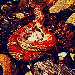 I swallow #snakeeating #reptilesofinstagram #instareptiles #mouse... (jodyblake) Tags: mouse fire death reptile strangled cornsnake snakeeating reptileworld uploaded:by=flickstagram reptilesofinstagram instagram:photo=612441075193873588802259736 instareptiles
