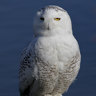 Wayward Snowy Owl:  Edwin B. Forsythe NWR