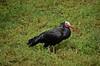 Northern Bald Ibis AKA Waldrapp