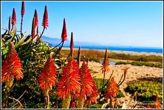 SantaBarbara (rajbhai) Tags: flowers red beach santabarbara nikon dof sunny d600