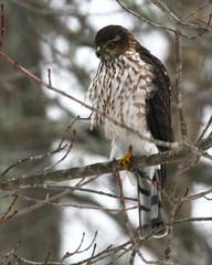 Sharp-Shinned Hawk 58p (Accipiter striatus) (egdc211) Tags: bird birds aves sharpshinnedhawk birdwatcher accipiterstriatus backyardbirding