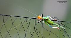 Gafanhoto do Brasil (Ordem Orthoptera)