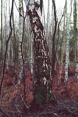 IMG_1628.jpg (Adam_Marshall) Tags: wood winter england tree nature forest landscape moss woods bark trunk birch holme