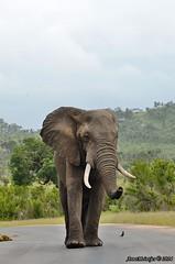 DSC_2469 (Arno Meintjes Wildlife) Tags: africa elephant nature animal southafrica wildlife ivory safari krugerpark africanelephant loxodontaafricana africanbushelephant arnomeintjes