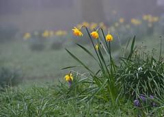 Daffodils (Keith Grafton) Tags: road flowers mist abbey spring crocus cumbria daffodils furness barrowinfurness mar2014 nikondf