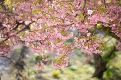 Early blooming sakura (kasa51) Tags: flower tree japan cherryblossom sakura izu さくら サクラ wintertospring 河津桜 earlyblooming
