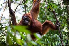 Ratna 4790 (Ursula in Aus (Resting - Away)) Tags: animal sumatra indonesia unesco orangutan ape greatape bukitlawang gunungleusernationalpark earthasia