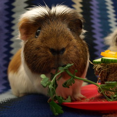 Happy Birthday Malcolm 2 , 15 Apr 14 (Castaway in Scotland) Tags: pet cute animal scotland guinea pig cavy rodent adorable olympus east lothian musselburgh e410