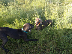 "Benelli & Juno playtime • <a style=""font-size:0.8em;"" href=""http://www.flickr.com/photos/66999112@N00/13884215466/"" target=""_blank"">View on Flickr</a>"