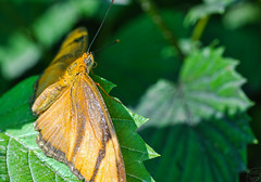 Julia Butterfly (Chad Horwedel) Tags: macro butterfly bug insect leaf illinois brookfield brookfieldzoo juliabutterfly