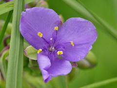 Blue-Jacket Flower (midimatt) Tags: flower wisconsin wi spiderwort purpleflower newburg bluejacket saukville tradescantiaohiensis commonspiderwort riveredgenaturecenter mattdrollinger matthewdrollinger smoothspiderwort