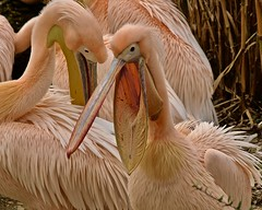 Pelikan (heiko.moser (+ 12.100.000 views )) Tags: pelikan bird birds vogel vögel natur nature natura nahaufnahme canon closeup color entdecken eyecatch farbig fauna outdoor animal animale discover tier tiere tierpark zoo heikomoser