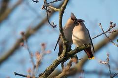 Pestvogel,Bohemian Waxwing (Paul van Agthoven) Tags: vogels nature canon 70d 100400 zoom winter food holland birding birdwatcher explore inexplore