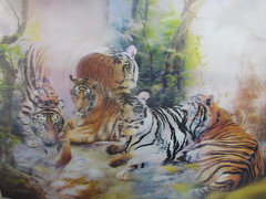 the miracles of family (William Keckler) Tags: tiger siberian lenticular siberiantiger whitetiger tigerfamily