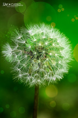 Irish Dandelion (BillTiepelman) Tags: plant flower green floral weed fineart dandelion taraxacum bokek greenbackground whitedandelion artisticflower puffydandelion flowerfineart artisticweed globularflower