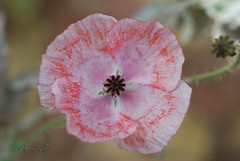 Au printemps tu reviendras... (David Lev) Tags: plants flower macro poppy mygarden nirim