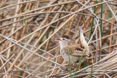 Marsh Wren (Cistothorus palustris) (Michael J Porter) Tags: bird birds britishcolumbia walkervalley 108mileranch
