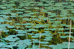 Spiegeling (RunningRalph) Tags: netherlands mirror waterlilies waterlelies goilberdingen