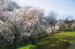 95080018 (lkayosl) Tags: flowers tree nature cherry spring purple blossoms sakura cherrytree
