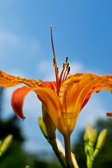 """Reach for theSky"" (Fire Fly5) Tags: flowers blue sky orange love 35mm john lens this wayne lilies"