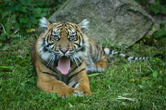 Sumatran tiger cub (mellting) Tags: cub nikon flickr sweden tiger bigcat sumatrantiger platser tigercub sumatratiger parkenzoo pantheratigrissumatrae yawningtiger djurparker sigma70300456 flickrbigcats nikond7000 mellting obloggad matsellting yawningtigercub