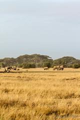 Family of elephants (Cursomán) Tags: africa sunrise kenya safari amanecer elephants kenia amboseli elefantes canon60d
