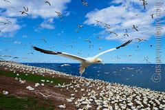 Gannets!! (Osprey-Ian) Tags: gannets gaspe bonaventureisland northerngannet mygearandme mygearandmepremium mygearandmebronze mygearandmesilver mygearandmegold mygearandmeplatinum mygearandmediamond