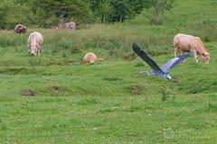 Beau hron prenant son vol (raphael.labourel) Tags: pets france bird earth monde animaux oiseau vache pyrnes hron payolle