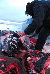 Walrus Hunt 8_5_13 2 008 (efusco) Tags: ocean sea ice alaska native arctic butcher hunter beaufort walrus hunt midnightsun iceburg floe inupiat inupiaq aivik femalewalrushunt85132
