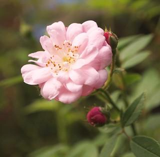Small Rose blossom