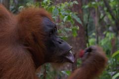 Eating Rambutan