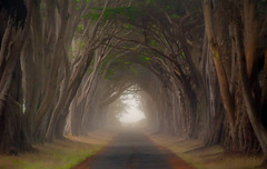 Cypress Tunnel, Mist, Deer, Point Reyes, #3