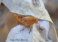 grasshopper (Luis Diaz Devesa) Tags: espaa naturaleza insectos macro verde green nature insect spain europa galicia galiza grasshopper bicho pontevedra insecto vilagarciadearousa villagarciadearosa luisdiazdevesa
