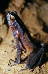 Skinny toad (Rhaebo haematiticus) (KarstenThomsen1) Tags: toad