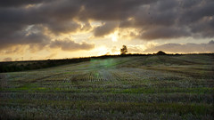 Fields of gold 8 - sunset over the stubble (Elisafox22) Tags: sunset tree barley clouds lens golden sony lavender stormy fields stubble rooks 1650mm nex6