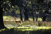 Fallow Deer (juliereynoldsphotography) Tags: woods fallowdeer lymepark canon6d juliereynolds juliereynoldsphotography