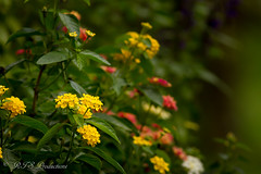 Lovely Lantana (Rick Smotherman) Tags: flowers stpeters fall nature leaves canon garden outdoors morninglight backyard october cloudy overcast 7d cloudysky canon7d