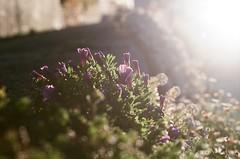 purple trumpets ( - Akiyo) Tags: film backlight fuji superia fujifilm superia400 backlighting