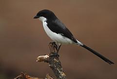 Long-tailed Fiscal (Rainbirder) Tags: kenya maasaimara longtailedfiscal laniuscabanisi rainbirder