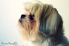 Jake  The Shih Tzu (mariana_pereira) Tags: dog cute co dogs puppy puppies shihtzu cachorro bones ces bone peto