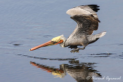 California Brown Pelican hunting in shallow waters - IMG_0239-1 (arvind agrawal) Tags: hunting brownpelican sandiegoriver shallowwaters