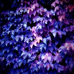 Alien Autumn - Violet Ivy (Cris Ward) Tags: park uk pink november autumn trees plants color colour london fall 120 6x6 tlr film nature leaves wall analog mediumformat square iso200 intense lomo lomography bush colorful purple britain vibrant magenta vivid surreal ivy hobby lilac shade squareformat soviet lubitel stjamespark gradient analogue manual colourful russian amateur multicolour lubitel166b twinlensreflex 166b colourshift falseinfrared lomolab lomographyuk lomochrome xr100400 lomochromepurplexr100400