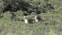 Pumas in Torres del Paine, Chile (bltboston) Tags: pumas puma torresdelpainechilebobthomas