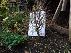 DSC06464 (jeremy_norbury) Tags: november autumn garden beds bonsai growing patch 2013